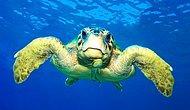 WWF: Deniz Kaplumbağaları Tehdit Altında
