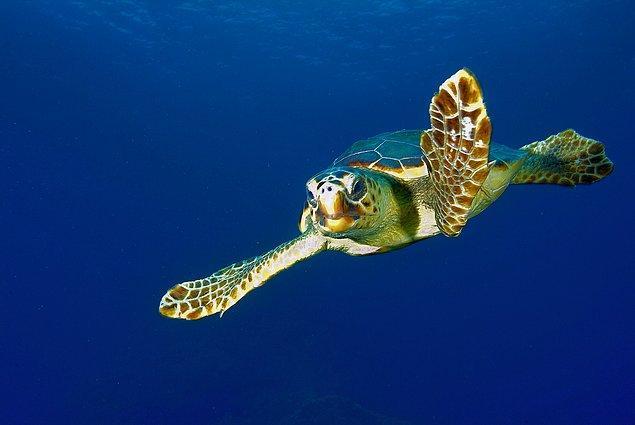 Deniz kaplumbağalarını tehdit eden faktörler