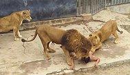 Aslanların Kafesine Atlayarak İntihar Etmek İsteyen Genç