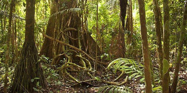 Fakat yağmur ormanları dünyaya kazık çakmış değil. Git gide yok oluyorlar.