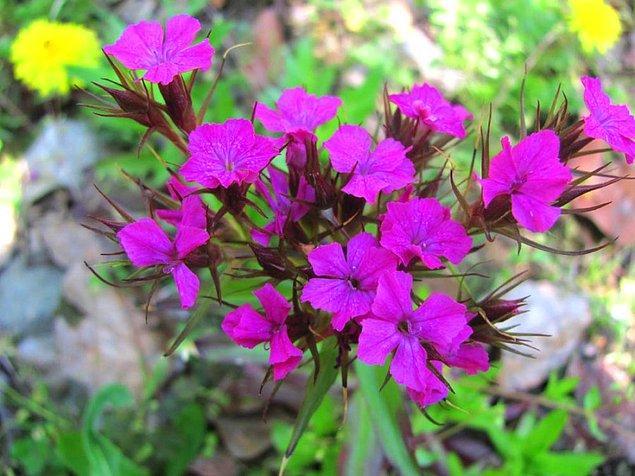 9. Hüsnüyusuf (Dianthus Barbatus)