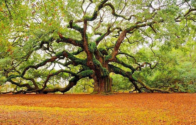 10. Bir ağacın ortalama olarak %99'u ölü hücrelerden oluşur.