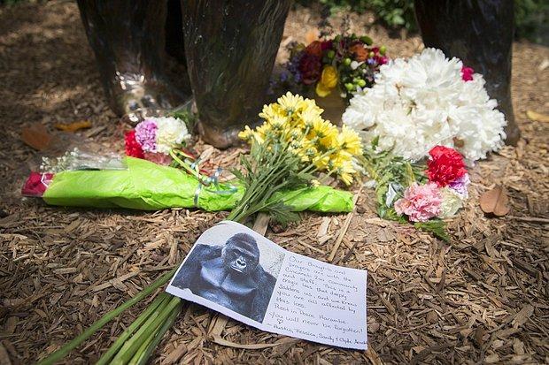 Öldürülen Goril İçin Hayvanat Bahçesinden  'Yine Olsa Yine Yaparız' Açıklaması