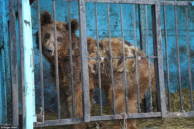 Vahşi oldukları için büyülenerek baktığımız hayvanları, vahşi davrandıkları takdirde ise öldürüyoruz, hem de hiçbir vicdan azabı hissetmeden!