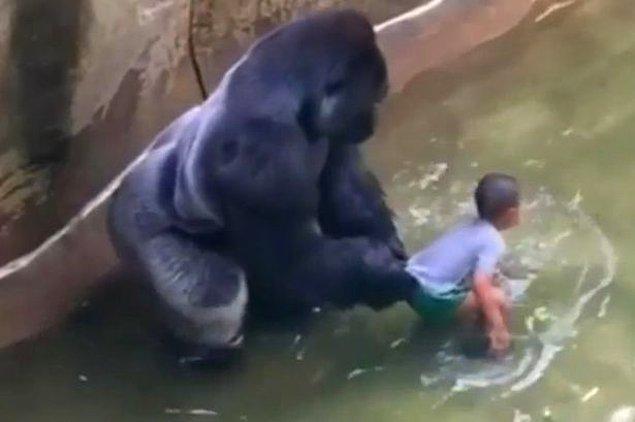 Daha önceki haftalarda ise hayvanat bahçesinde kafesin içine bir çocuk düştüğü için bir gorilin öldürülmesi haberini aldık. Bu goril de türünün son örneklerindendi...