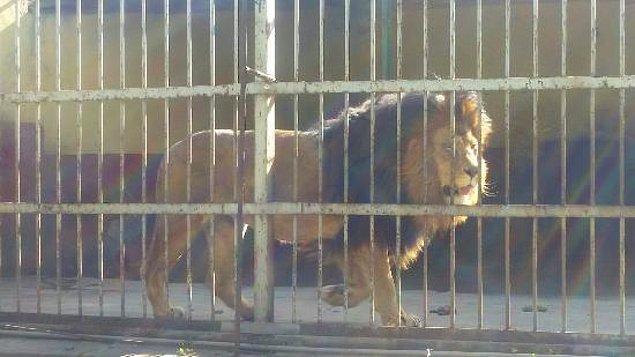 Vahşi hayvanları doğal tabiatlarından koparıp zorla kafeslere hapsediyoruz.