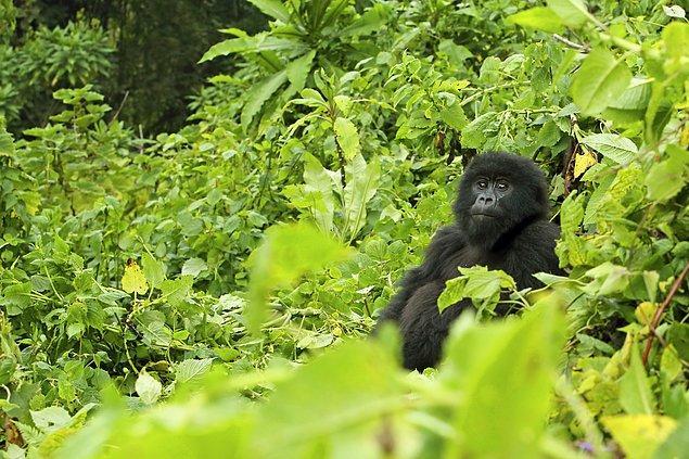 4. Gorillerle trekking yapabileceğiniz Ruanda