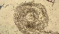 Karıncaların Toplu Ölümüne Sebep Olan İlginç Bir Doğa Fenomeni: Ölüm Çemberi