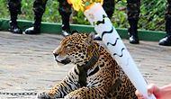 Brezilya'daki Olimpiyat Meşalesi Merasiminden Kaçan Jaguar Vurularak Öldürüldü