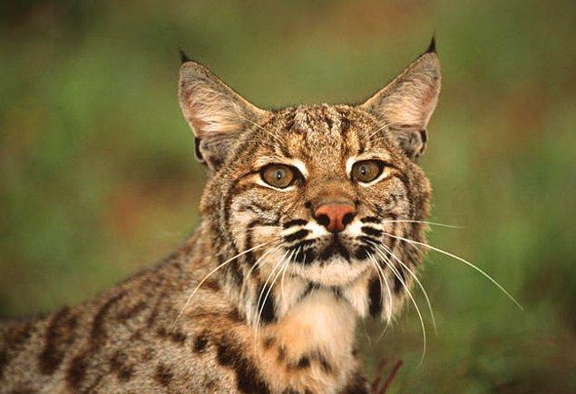 4. Vaşak, oldukça ender rastlanan bir hayvan olmasına karşın Kuzey Amerika'nın en yaygın vahşi kedisidir.
