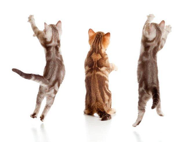 5. Kedilerin vücutlarındaki tüm kemiklerin %10'u kuyruklarında bulunur.