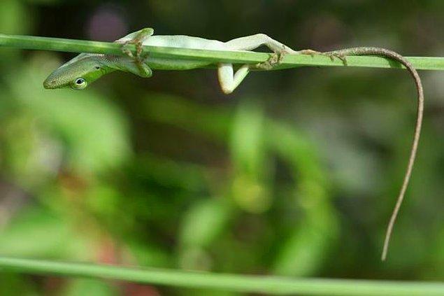 6. Gekoların ayaklarında, yüzeylere özel bir kimyasal bağ ile yapışmalarını sağlayan ve bu şekilde duvarlara tırmanmalarını mümkün kılan küçük tüyler vardır.