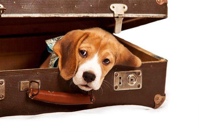 23. Amerika'daki 21 hava limanlarında görev yapan beagle cinsi köpekler, her yıl 75,000 yasa dışı eşyanın ülkeye girişini engellemektedir.