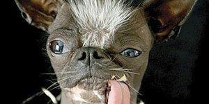 """А вы слышали о конкурсе """"Самая уродливая собака""""?"""