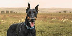 Sadakatin Dibi: Ailesini Korumak İçin Kobra Yılanlarıyla Dövüşe Giren Doberman Köpeği