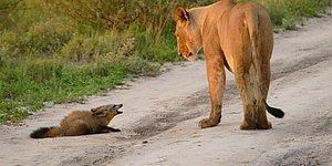Vahşi Doğa Bir Harika! Bulduğu Yaralı Tilki Yavrusunu Canı Pahasına Koruyan Dişi Aslan