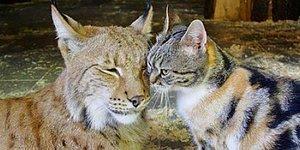 Son Yılların En Sıra Dışı Çifti: Vaşağa Aşık Olan Sokak Kedisi