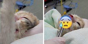 Burnunda Kocaman Bir Arı Larvasıyla Geldiği Veterinerde Rahata Eren Minnoş Kedi