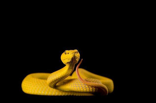 1. Zehirli yılanların gözleri elips şekline daha yakındır, zehirsiz yılanların gözbebekleri ise yuvarlaktır.