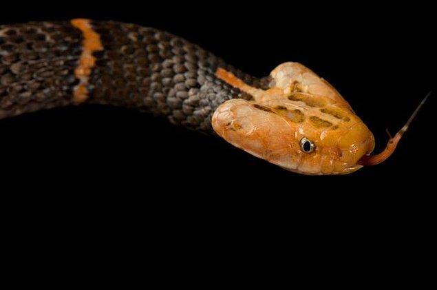 5. Zehirli yılanların boyun kısmı belirgin, üçgen şeklindedir. Zehirsiz yılanların başı daha oval yahut daha düzdür, boyunları ise neredeyse yok gibidir.