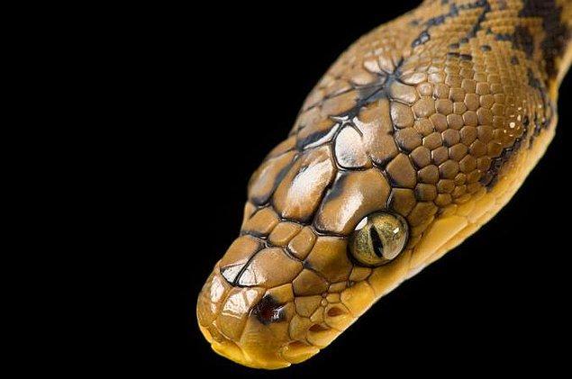 11. Yılanların göz kapağı yoktur, gözün ön kısmında gözü tamamen örten saydam bir tabaka vardır, bu sebepten ötürü gözü sürekli açık görünür.