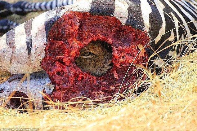 8. Dinlene dinlene zebra yiyen arsız aslan.