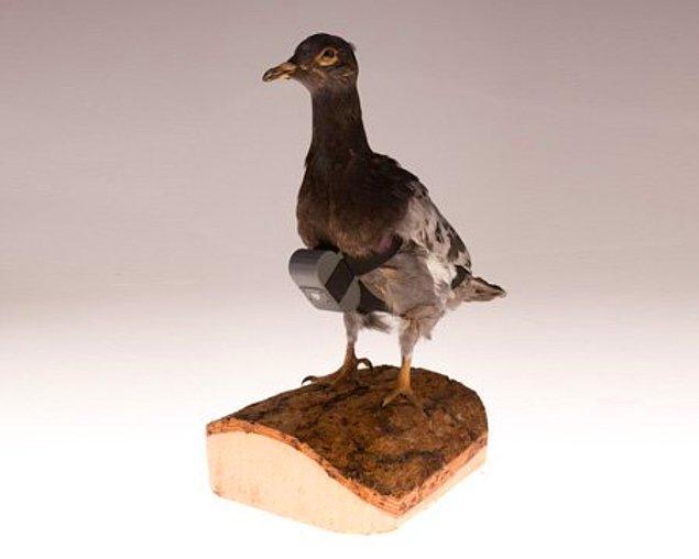 4. Mesaj taşıyan güvercin
