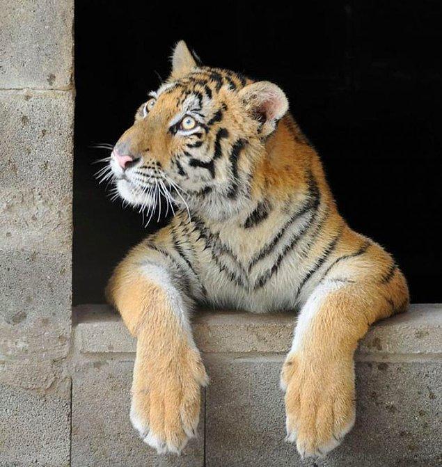 Aasha bulunduğunda 3 aylıktı ve sadece 13 kilogram ağırlığındaydı. 3 aylık sağlıklı bir kaplan ise ortalama olarak 54 kilo olmalıydı.