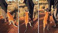 Lütfen Gitme! Bakıcısının Gitmesine İzin Vermeyen Kanguru