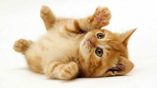 10. 2007 yılında yapılan çalışma ile bugün evlerimizde beslediğimiz kedilerin, eski zamanlarda (M.Ö. 8000) Yakın Doğu'da yaşayan vahşi kedilerin soyundan geldiği kanıtlanmıştır.