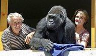 18 Yıldır Devasa Bir Gorille Aynı Evi Paylaşan Çift