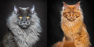 'Maine Coon' Irkından Dünyanın En Büyük Evcil Kedilerinin Yer Aldığı 21 Asil Portre!