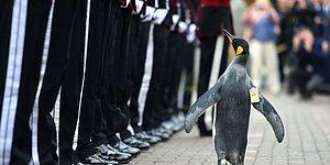 'Tuğgeneral' Ünvanı Verilen Penguen, Norveç Kraliyet Muhafızları'nı Teftiş Etti