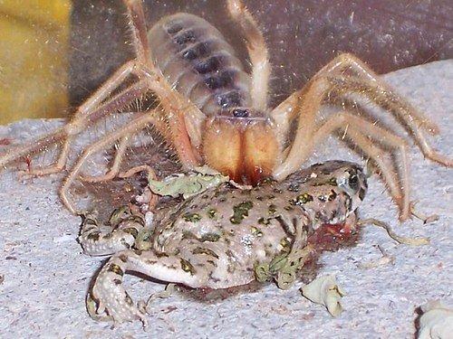et yiyen örümcek