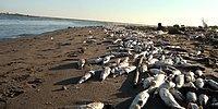 Tarsus'ta Binlerce Balık Sahile Vurdu...