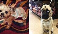 Pug ve Başka Irk Köpeklerin Karışımından Ortaya Çıkan 15 İlginç Minnoş