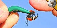 Dünyanın En Can Yakıcı İğnelerinden Birine Sahip Olan Kadife Karıncaya Kendini Sokturan Adam