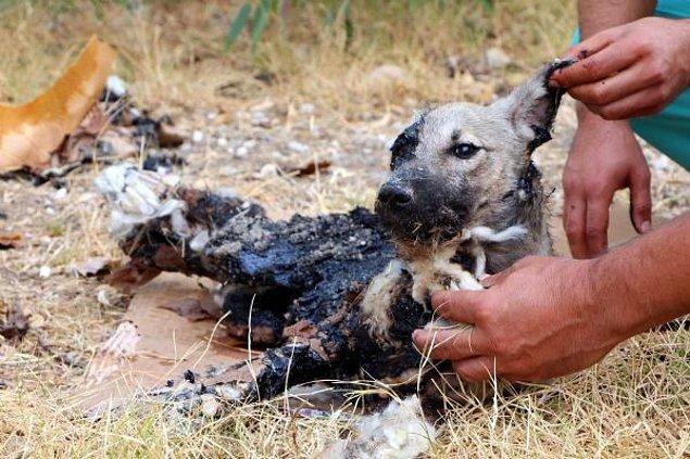 Barınaktaki görevliler sol göz ve kulağı bile zifte bulanmış köpeğin üzerindeki büyük parçaları elleriyle temizledi