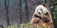 Panda Olunca Siyah Beyazsın Sanıyorlar! İşte Size Dünya'nın Tek Kahverengi Pandası: Qizai