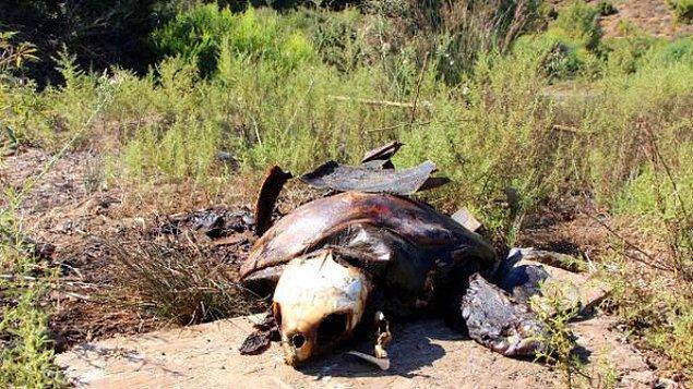 İncelemede, kaplumbağanın üzerine yanıcı madde döküldükten sonra ateşe verilerek yakıldığı tespit edildi...