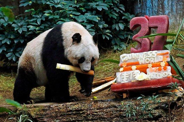 Sebze ve buzdan oluşan doğum günü pastasına nerdeyse hiç dokunmayan Jia Jia, her zamanki favori yemeği bambuyu yemişti.