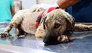 Zifte Gömülen O Yavru Köpek Hayata Tutundu ve Şimdi İngiltere Yolcusu!