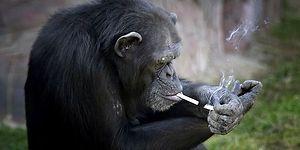 Hayvanat Bahçesinde Sigaraya Alıştırılan Derdo Şempanze Azelea