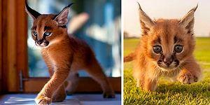 Kedigiller Familyasının En Güzel Türü Karakulaklardan 17 Minnoş Bebek