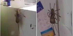 Yakaladığı Fareyi Dik Duvarda Taşıyabilen Dev Örümcek