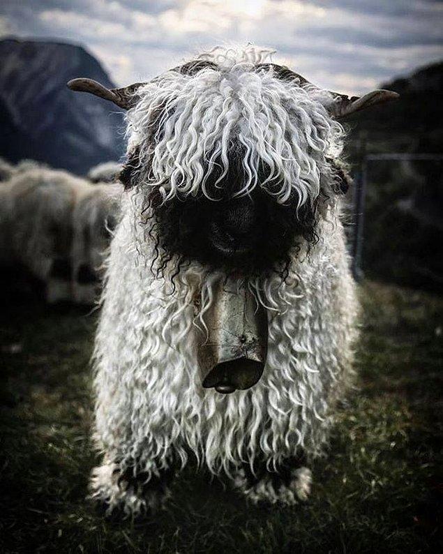 1. Valais Siyah Burunlu Koyunu adı verilen bu koyunların kökeni İsviçre...