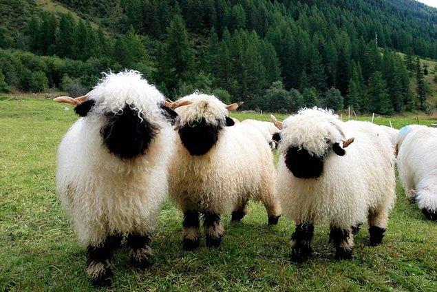 2. Çoğunlukla yünü için beslenen bu koyunların bu kadar popüler olmalarının sebebi simsiyah minnoş suratları.