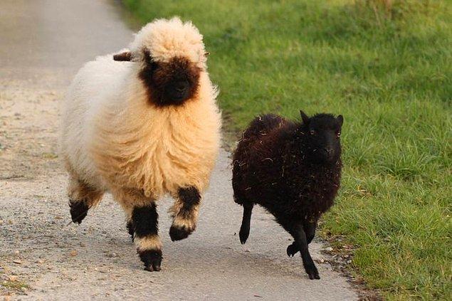 7. Rivayete göre bu koyunların yüzü o kadar karanlıkmış ki ruhunuzun da bu kapkaranlık dipsiz boşluktan size baktığını görüyormuşsunuz.