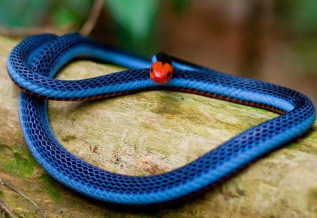 Karşınızda mavi mercan yılanı.