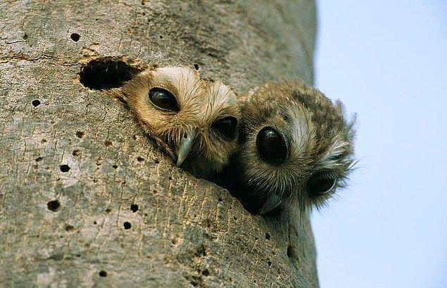 7. Peki yavru baykuş görmüş müydünüz? Hoop buyrun: